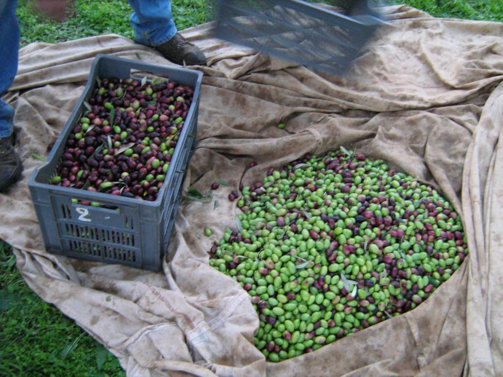 cueillette-olives