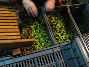 effeuillage-olives
