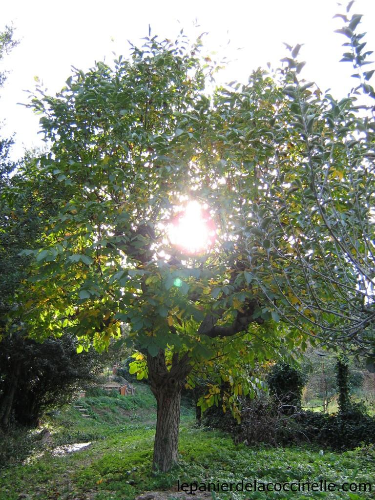 noyer-automne