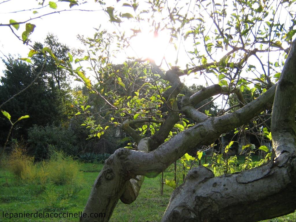 pommier-automne