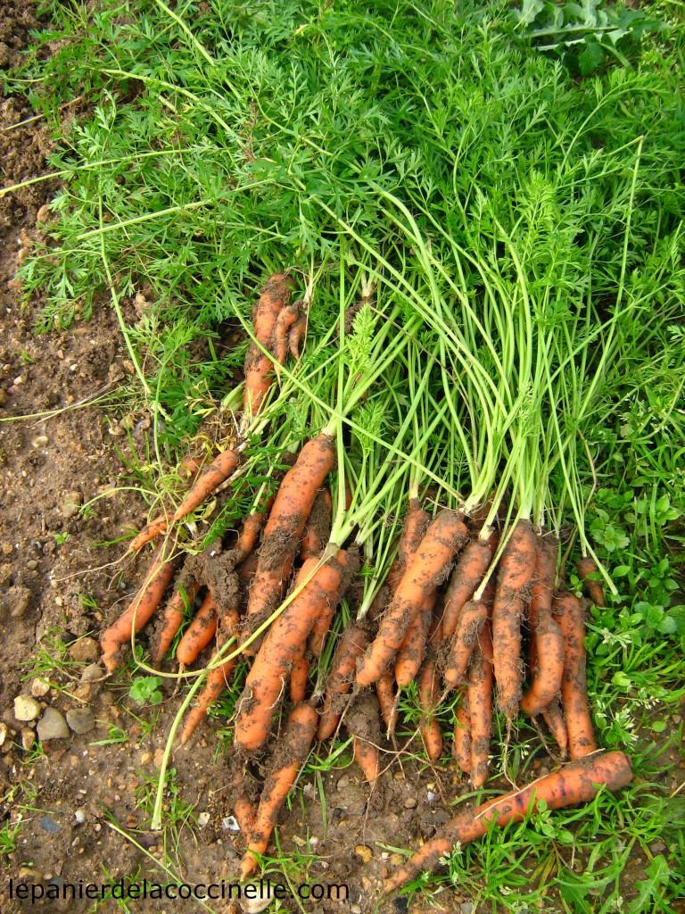 carotte-terre-potager