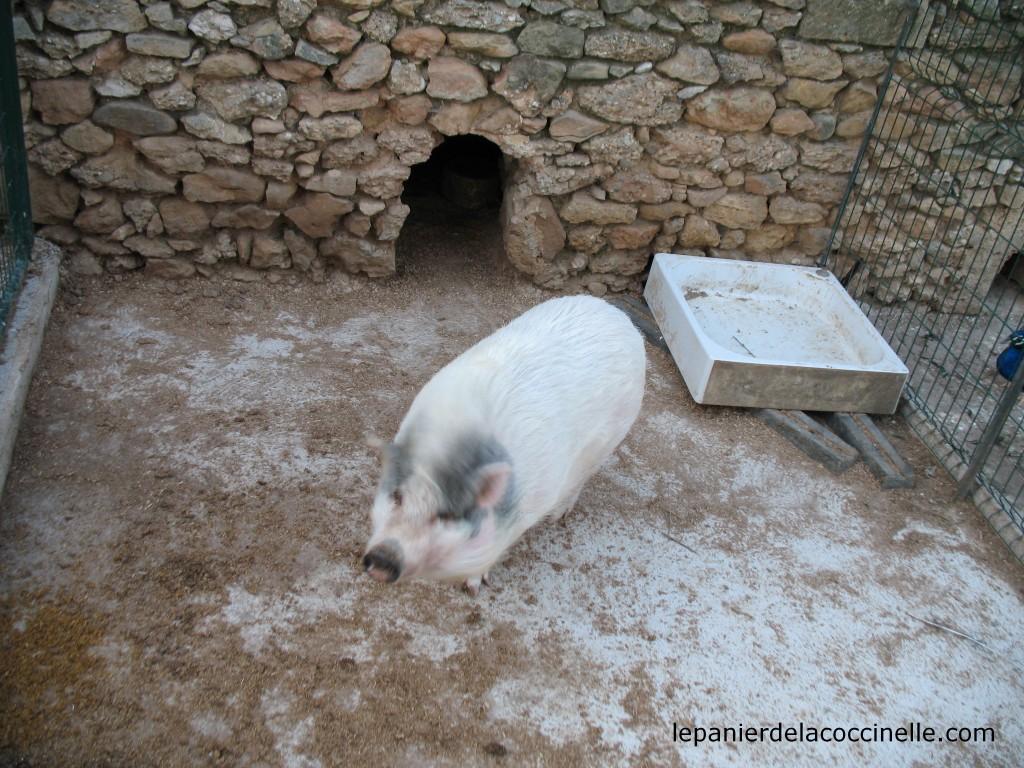 Domaine-Saint-Jean-de-l'Arbousier-cochon
