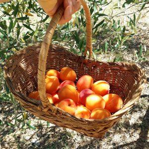 abricot-jardin-potager-bio
