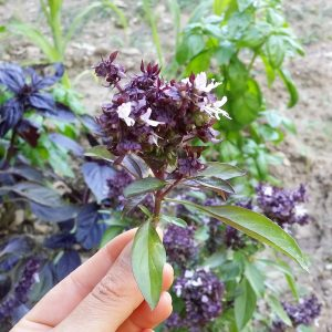 basilic-thai-jardin-potager-bio