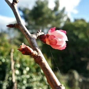 bourgeon-abricotier-jardin-potager-bio