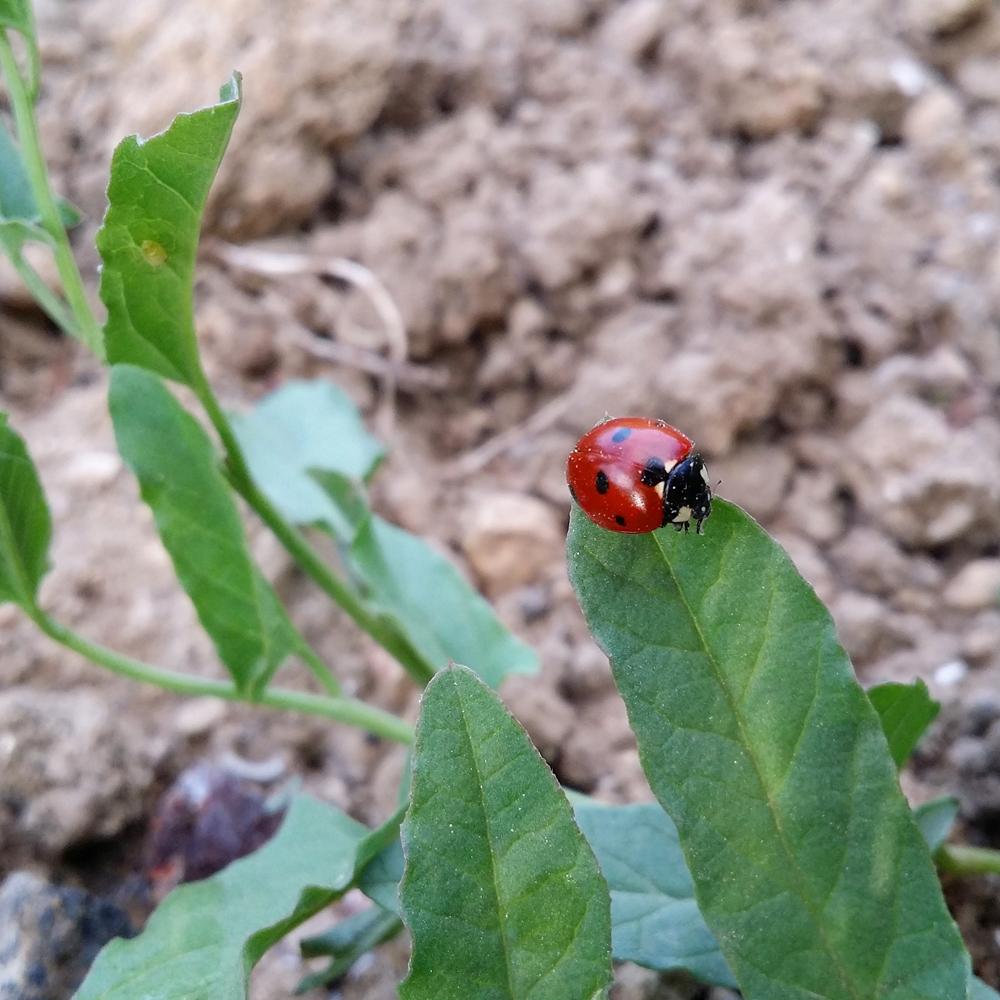 coccinelle-jardin-potager-bio-blog-green