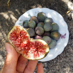figues-jardin-potager-bio