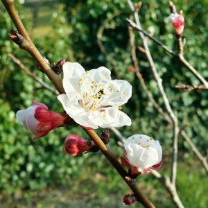 fleur-abricotier-jardin-potager-bio