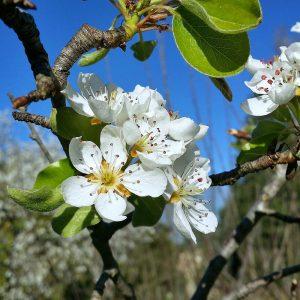 fleurs-poirier-printemps-jardin-potager-bio