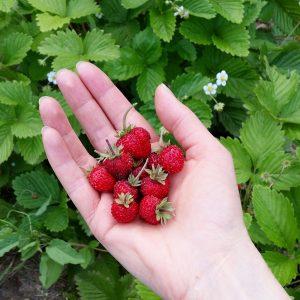 fraises-jardin-potager-bio-blogueuse-green