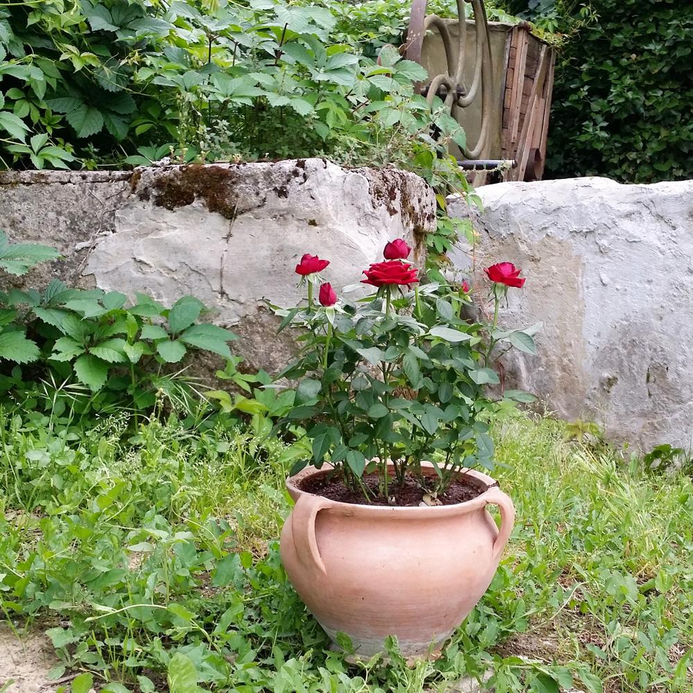 rosier-jardin-potager-bio