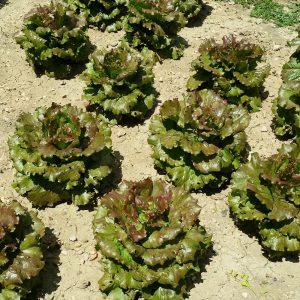 salades-jardin-potager-bio