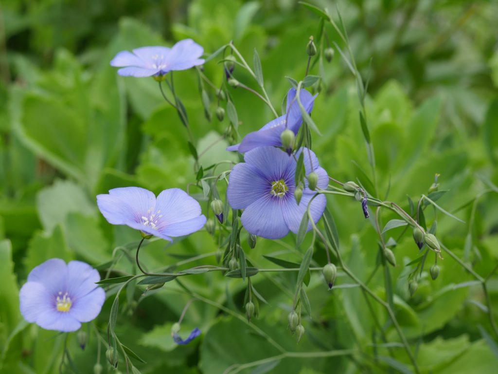 blog-bio-green-fleur-lin-champ-linen-flax-flower