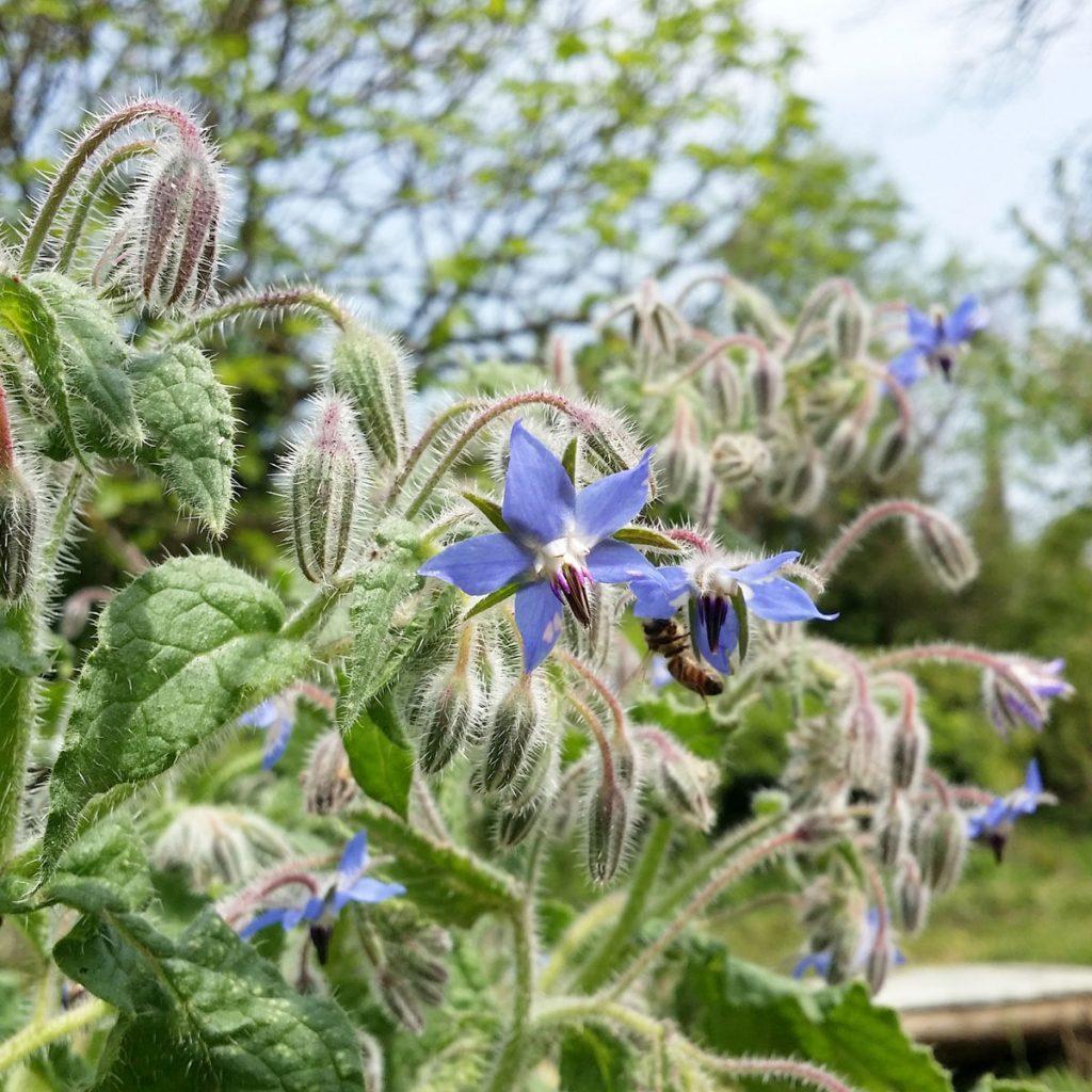 Réseaux sociaux et slow life. Bourrache dans mon jardin potager bio. Mademoiselle Coccinelle, blogueuse green